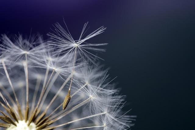 Dandelion, Seeds, Plants, Nature, Macro, Close, Wind