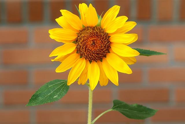Sunflower, Plants, Flowers, Solar, Affix, Nature