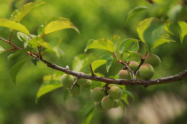 Nature, Leaf, Plum, Fruit, Plants, Abstract, Spring
