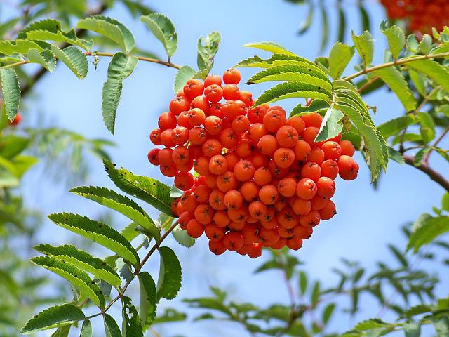Rowan Berry, Fruits, Crane, Tree, Plants, Red