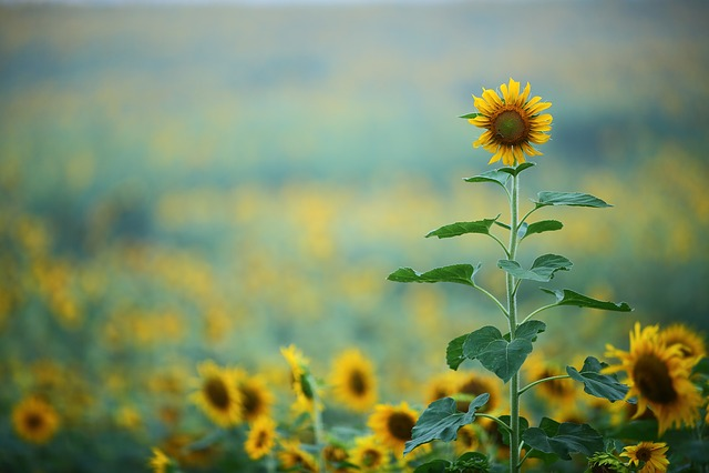 And Sole, Sunflower, Autumn, Republic Of Korea, Plants