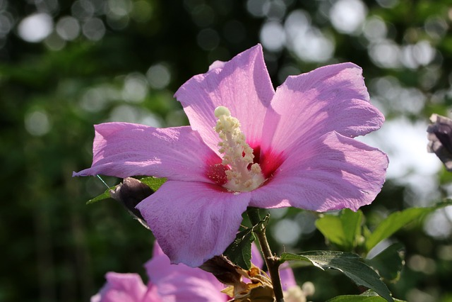 Rose Of Sharon, South Korea National, Flowers, Plants