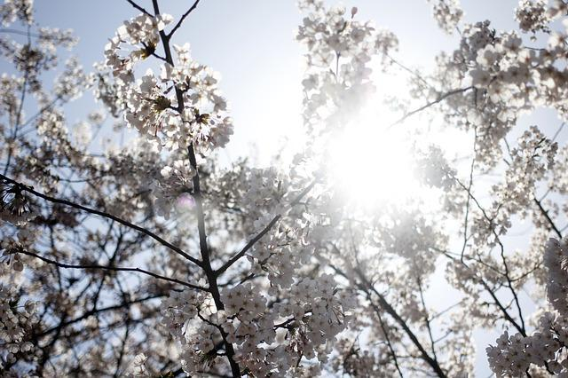 Cherry Blossom, Spring, Flowers, Nature, Plants