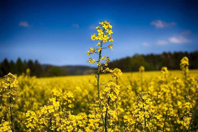 Field, Nature, Plants, Rapeseed, Springtime, Sunny