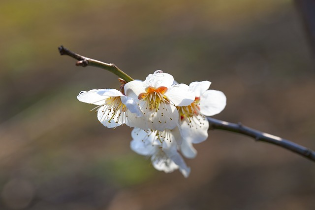 Flowers, Nature, Plants, Outdoors, Wood, Plum, Spring