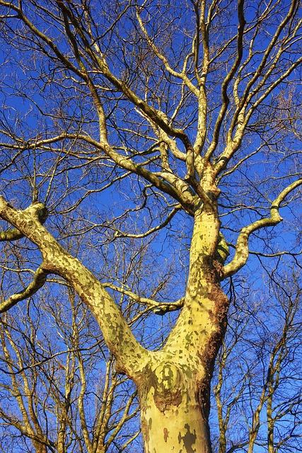 Platanus, Plane Tree, Plane, Sycamore, Tree, Trunk
