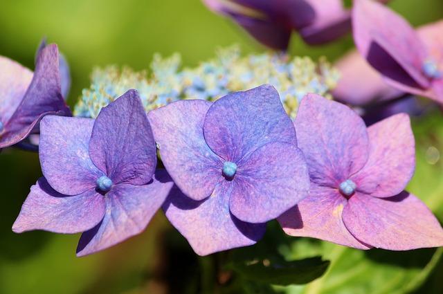Plate Hydrangea, Hydrangea, Flower, Blossom, Bloom