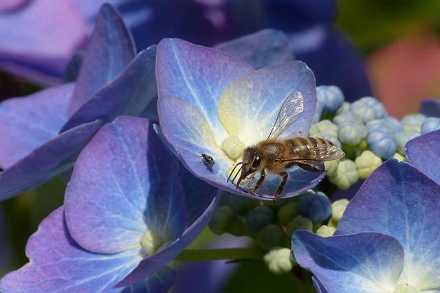 Plant, Hydrangea, Plate Hydrangea, Hydrangea Ceae, Blue