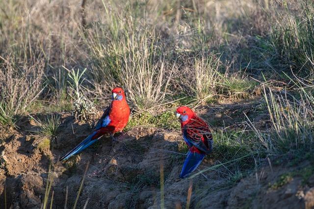 Crimson Rosella, Platycercus Elegans, Bird, Wildlife