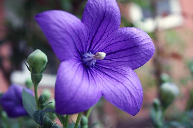 Balloon Flower, Platycodon, Blossom, Bloom, Purple, Sun