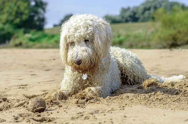 Golden Doodle, Beach, Ball, Dog, Play, Water, Beach Sea