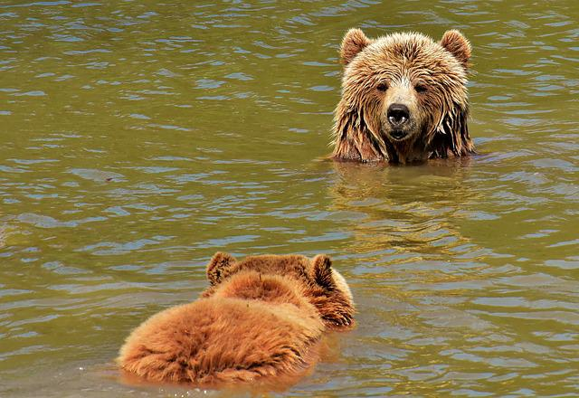 European Brown Bear, Play, Together, Brown Bear