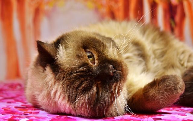 British Shorthair, Cat, Concerns, Play, Animal World