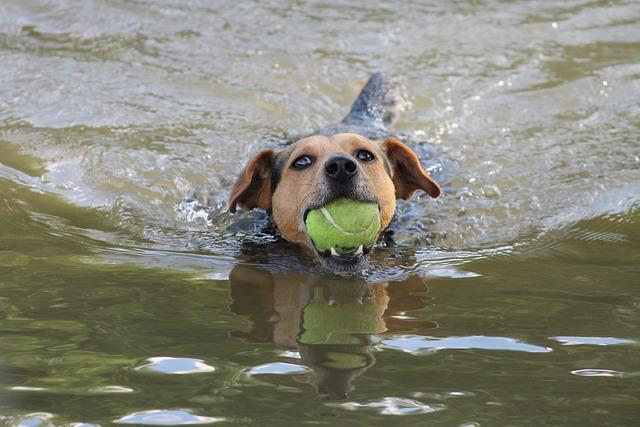 Dog, Swim, Play, Ball, Floating, Pet, Sport