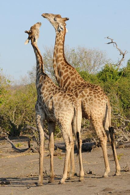 Botswana, Chobe, Giraffes, Play