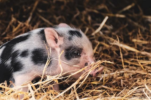 Piglet, Small Pigs, Mini, Cute, Sweet, Funny, Play