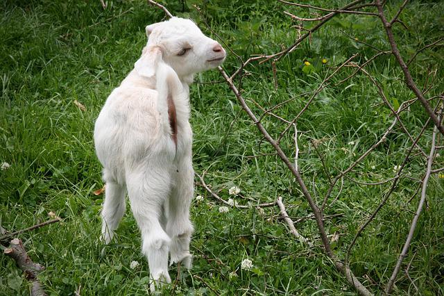 Kid, Goat, Playful, Pets, Livestock, Domestic Goat