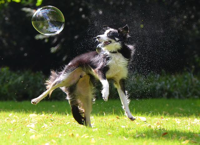 Soap Bubbles, Dog, Dog Hunting Soap Bubbles, Playful