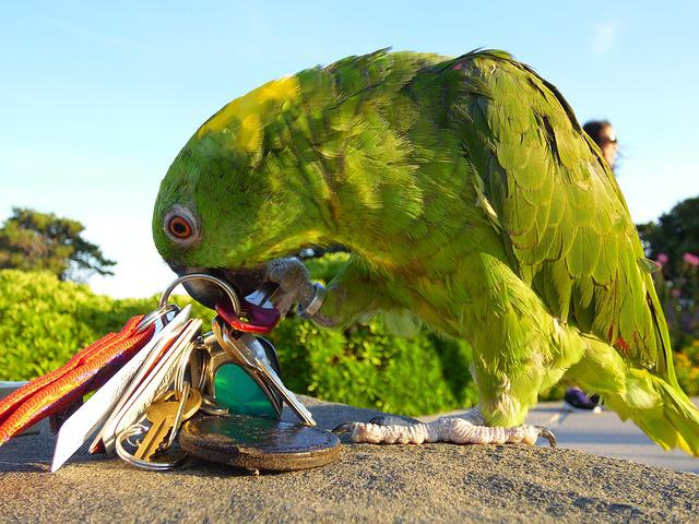 Amazon, Parrot, Playing