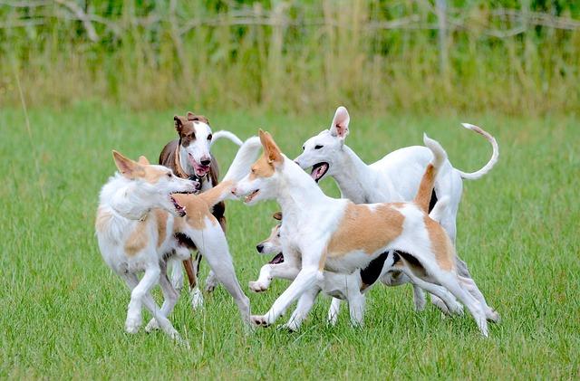 Fun, Dogs, Running Dog, Playing Dogs, Romp, Playing Dog
