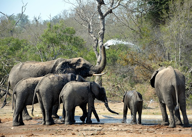 Elephants, Playing In Mud, Kruger Park, South Africa
