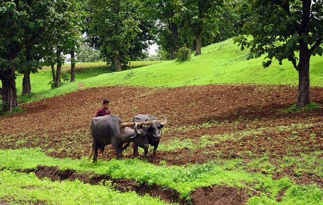 Plough, Buffalo, Tilling, Ploughing, Primitive