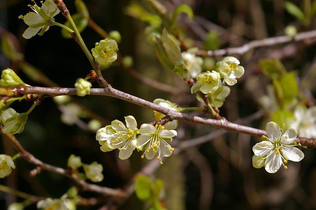 Spring, Plum Tree, Flowers, Plum Blossom, Branch