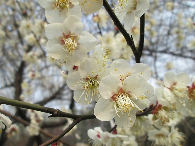 Plum Garden, Castle Peak Park, Plum Blossom, White
