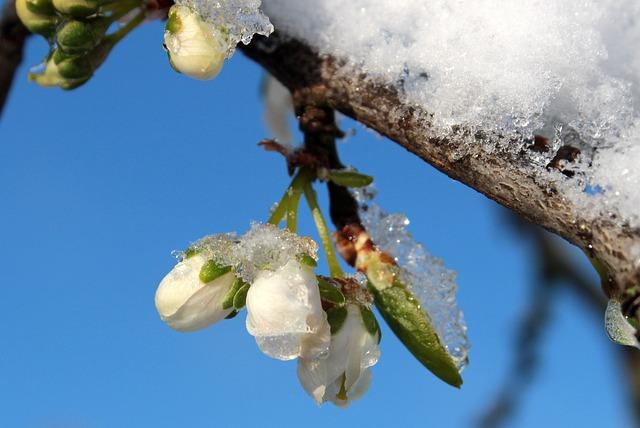 Plum Tree, Prunus Domestica, Plum Blossom, Plum Buds