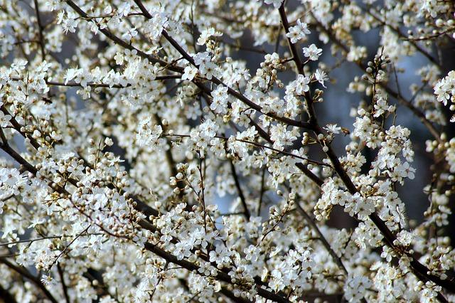 Fruit Tree, Plum, Flowering, Spring, Branch, Nature