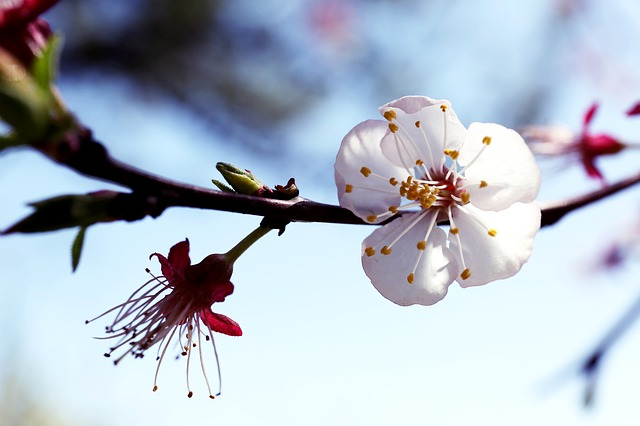 Flowers, Plum, Spring, Plum Flower, Bright, April