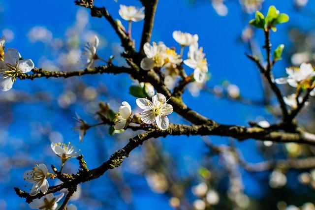Tree, Branch, Cherry, Flower, Season, Nature, Plum