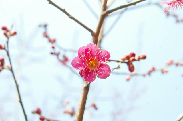 Red Plum, Plum, Spring Flowers, Spring, Pink Flower