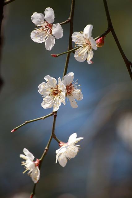 Plum, Plum Blossoms, Spring Flowers, Spring