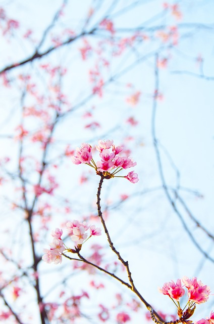 Plum, Spring, White Plum Blossoms, Plum Blossoms