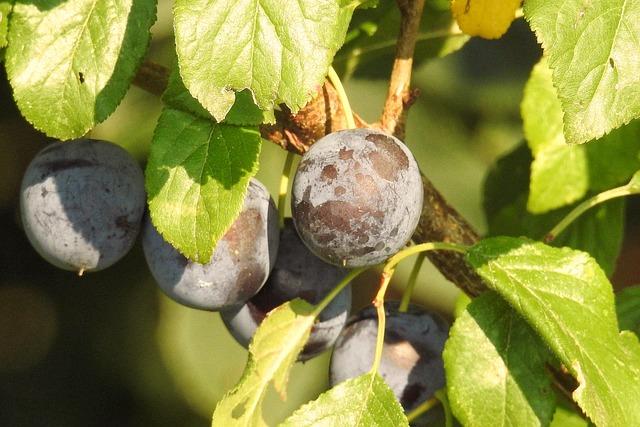 Plums, Plum Tree, Branch, Tree, Fruit, Fruit Tree
