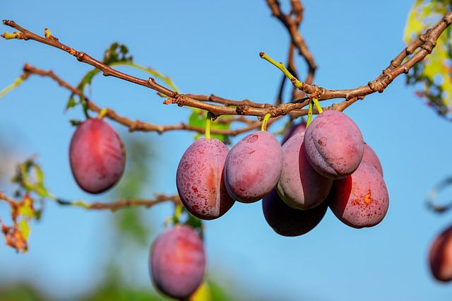 Plums, Plum Tree, Fruit, Fruits, Immature, Fruit Tree
