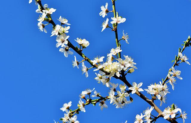 Plum Blossom, Blossom, Bloom, Plum Tree, Bloom