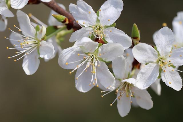 Plum, Plum Tree, Prunus Domestica, Blossom, White