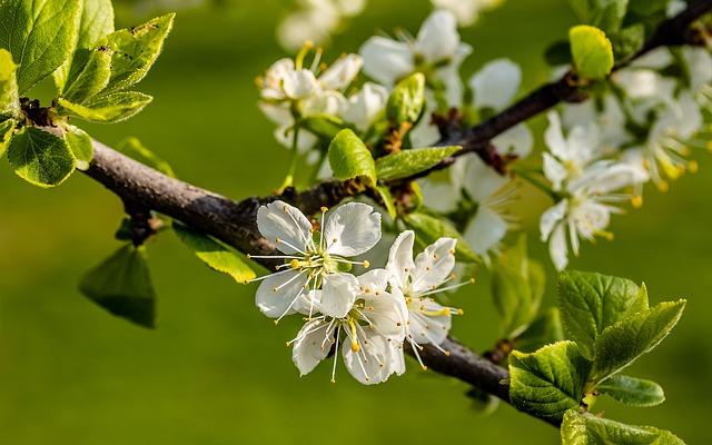 Plum Blossoms, Plum Tree, Prunus Domestica, Spring
