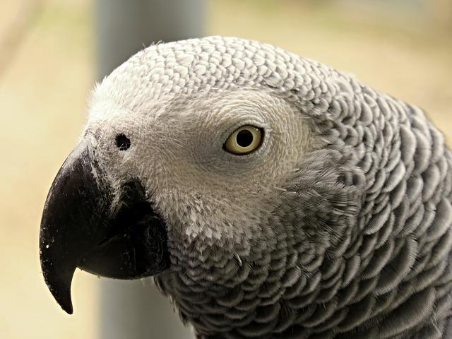 Parrot, African Grey Parrot, Tropical, Bird, Plumage