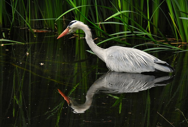 Heron, Wading Bird, Animal, Plumage, Feather, Beak
