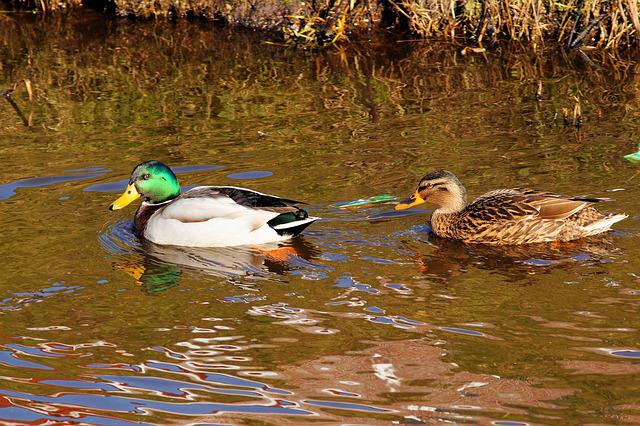 Ducks, Pair, Couple, Plumage, Bill, Water, Bird, Nature