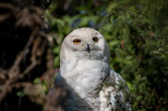 Snowy Owl, Owl, Bird, Animal, Plumage, Feather, Raptor