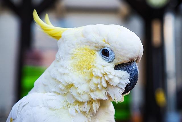 Parrot, Cockatoo, Bird, Plumage, White Cockatoo, White