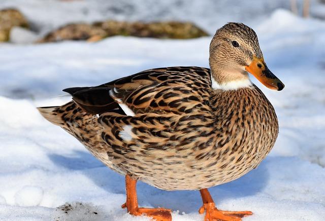 Duck, Water Bird, Mallard, Bird, Feather, Wing, Plumage