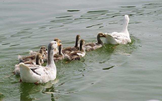 Goose, Chicken, Birds, Plumage, White, Gray, Swimming