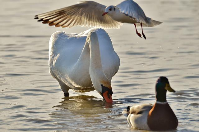 Swan, Seagull, Duck, Lake, Plumage, Animal World