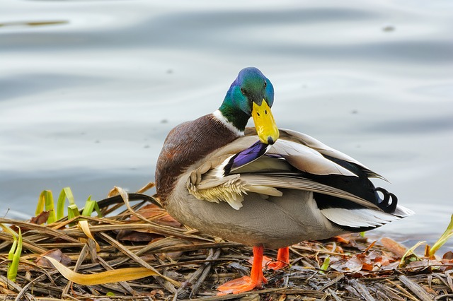 Duck, Drake, Feather, Water, Plumage