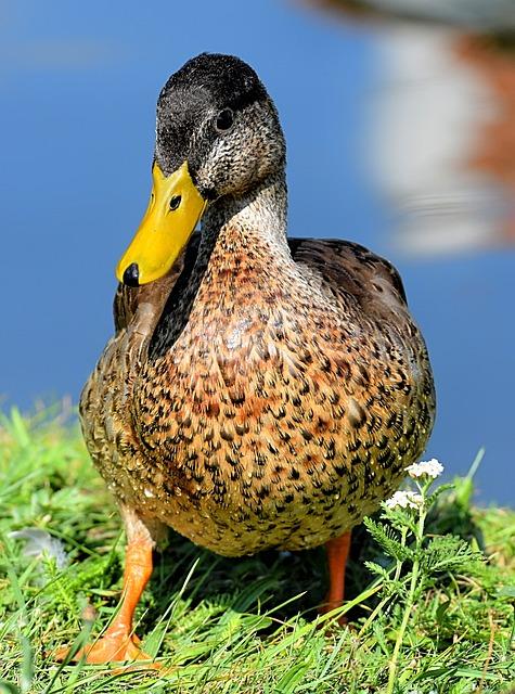 Mallard, Duck, Bird, Nature, Plumage, Poultry, Ducks